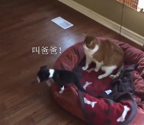橘猫抢了狗窝还打小奶狗 小狗把爸爸叫来后场面就变了!-图片3