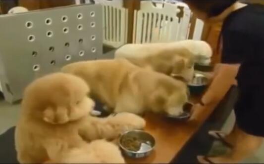 喂金毛粮吃 吃完后还知道把碗收了 这样的狗狗谁不喜欢啊-图片1