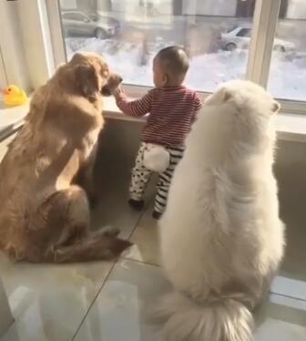 今天妈妈不在家了 金毛和萨摩耶这俩就担起这个重任!太暖了-图片1
