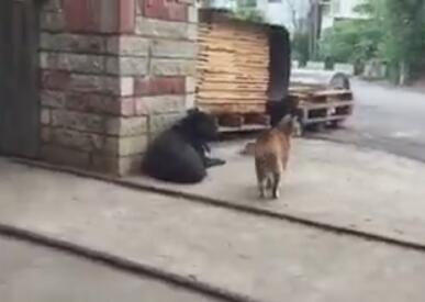 猫爷出去巡游看到一黑狗 就直接这样欺负狗狗 狗狗好可怜-图片2