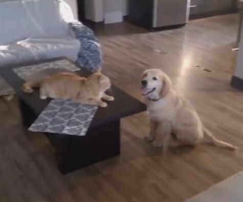 小金毛狗狗偷偷欺负猫咪 开始还在反抗 最后猫也绝望了-图片1