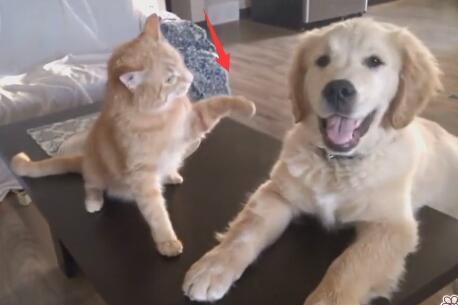 小金毛狗狗偷偷欺负猫咪 开始还在反抗 最后猫也绝望了-图片4