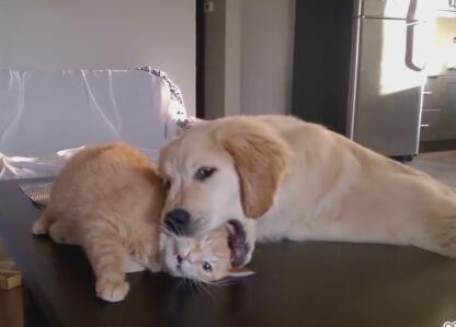 小金毛狗狗偷偷欺负猫咪 开始还在反抗 最后猫也绝望了-图片6