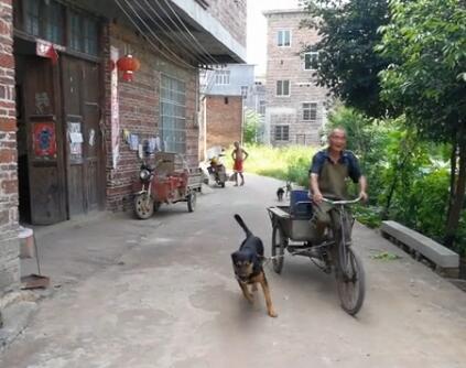 73岁的腿病大爷骑三轮车骑不太动了 忠狗的举动让人泪目!-图片1