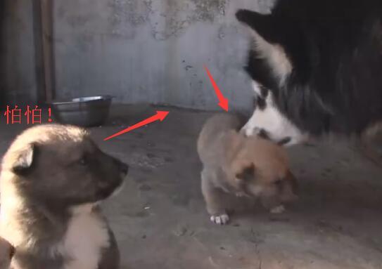 .阿拉斯加狗狗每天都会抢一只奶狗回去 真正原因让人心塞-图片3