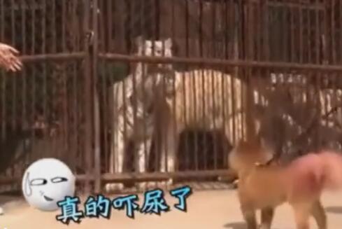 狗狗第一次看到老虎后反应原来是这样的 主人都要拉不住啦-图片3