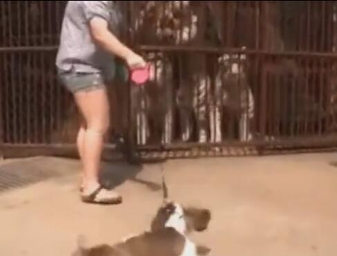 狗狗第一次看到老虎后反应原来是这样的 主人都要拉不住啦-图片4