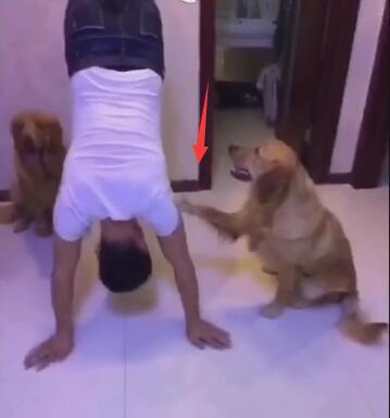 男主人被罚倒立了 狗狗故意在一旁偷笑 还不停的捣乱挠他!-图片1