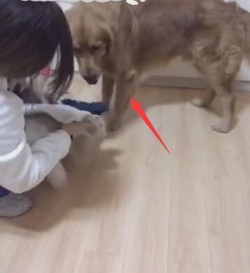主人给狗狗穿新衣服 在一旁的金毛不高兴 直接撕衣服!-图片2