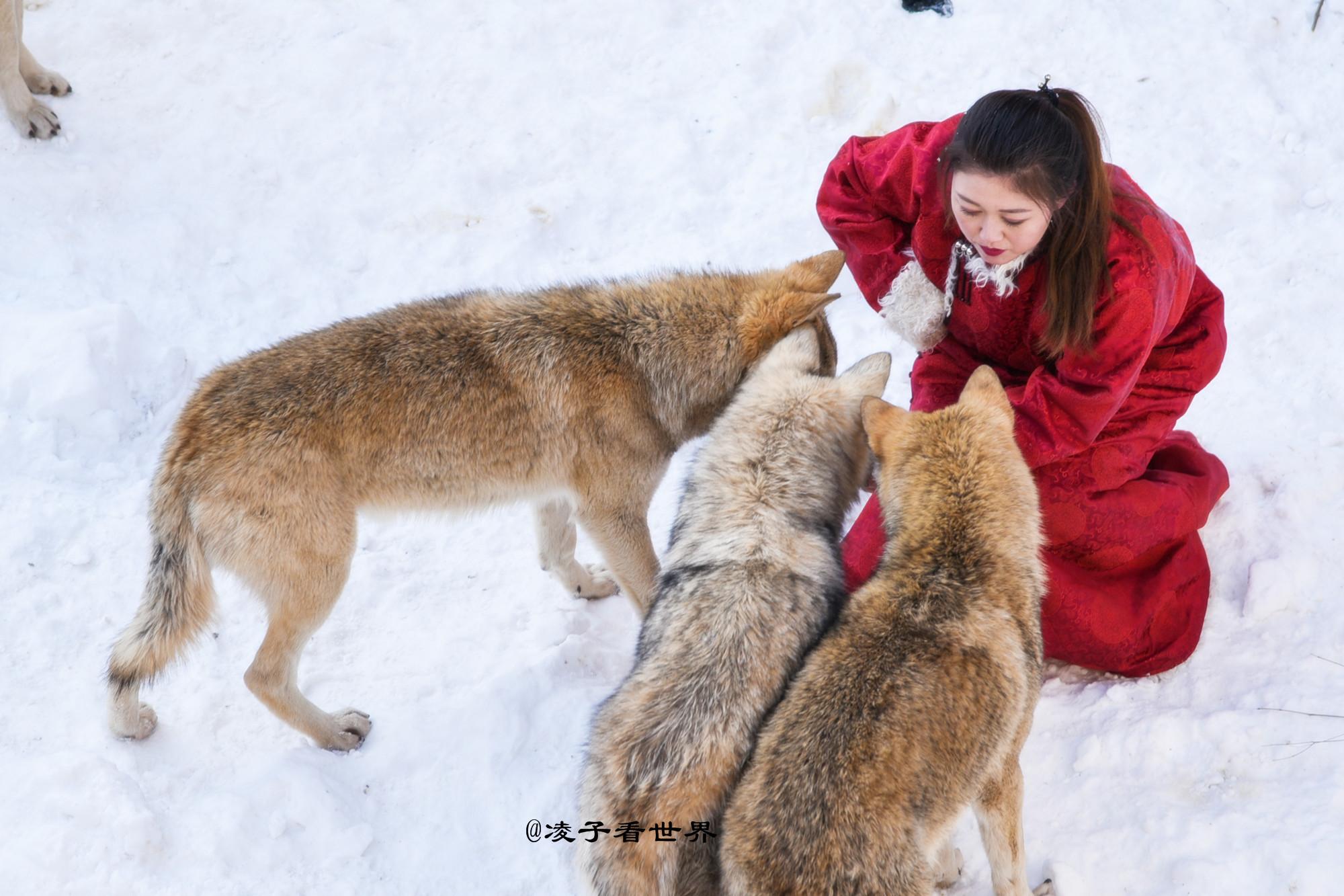 首届百里峡冰雪季居然引来了俄罗斯美女与狼共舞