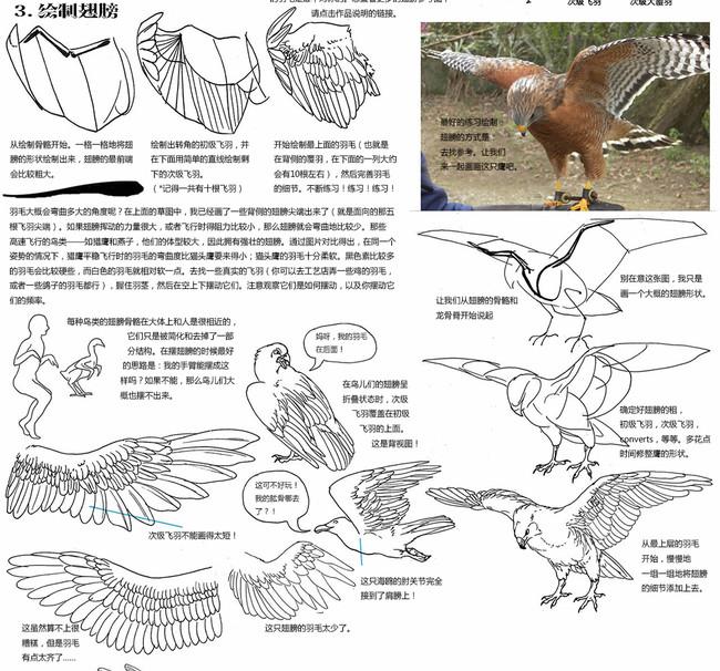 【推荐】鸟类翅膀的画法—轻微课VIP会员专区
