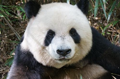 研究揭示大熊猫及其栖息地的生态系统服务价值远高于保护投入