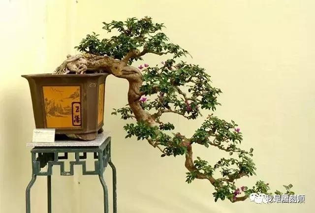 艺术造型,树干全部倒挂下垂出盆口,唯留树根在盆中,全树犹如用钩子挂图片