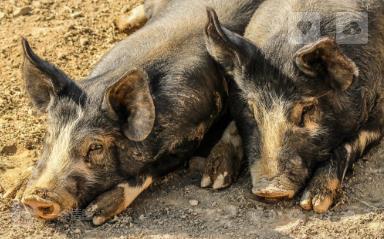 非洲猪瘟常态化下蓝耳病的防控案例