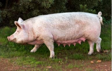 二十条黄金规则 综合防治猪病