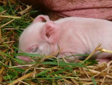 农村养猪:养好母猪各阶段的技术要点!