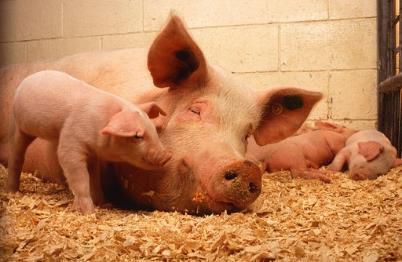 活猪价格27.15元/公斤 上涨1.8% 与去年同期相比上涨91.3%