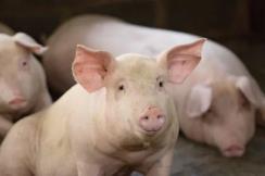 官方!生猪及猪肉最新价格 生猪平均收购价格为29.96元/公斤