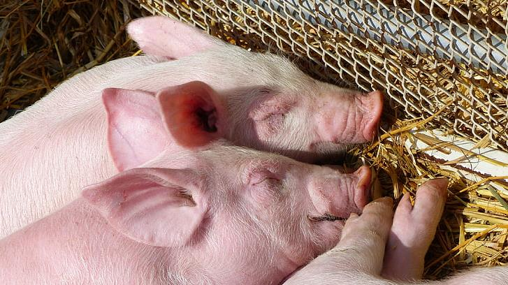 农业农村部:24省发布促生猪生产政策