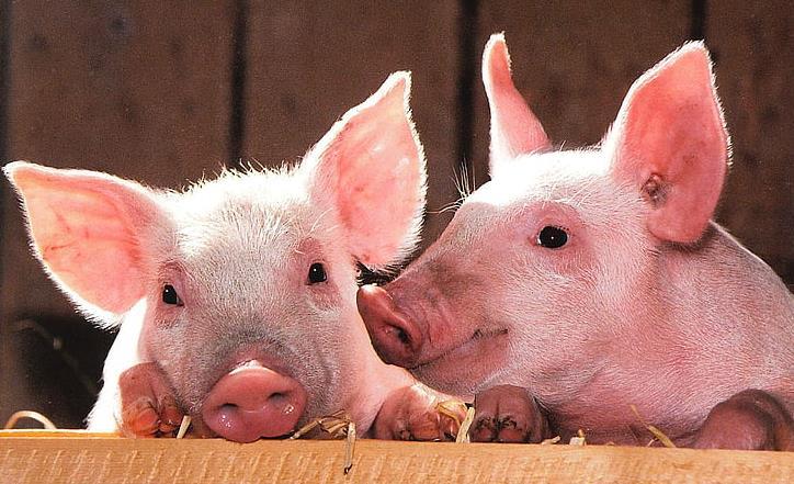 """太原五家生猪定点屠宰场""""大清洗、大消毒""""消除非洲猪瘟疫情隐患"""