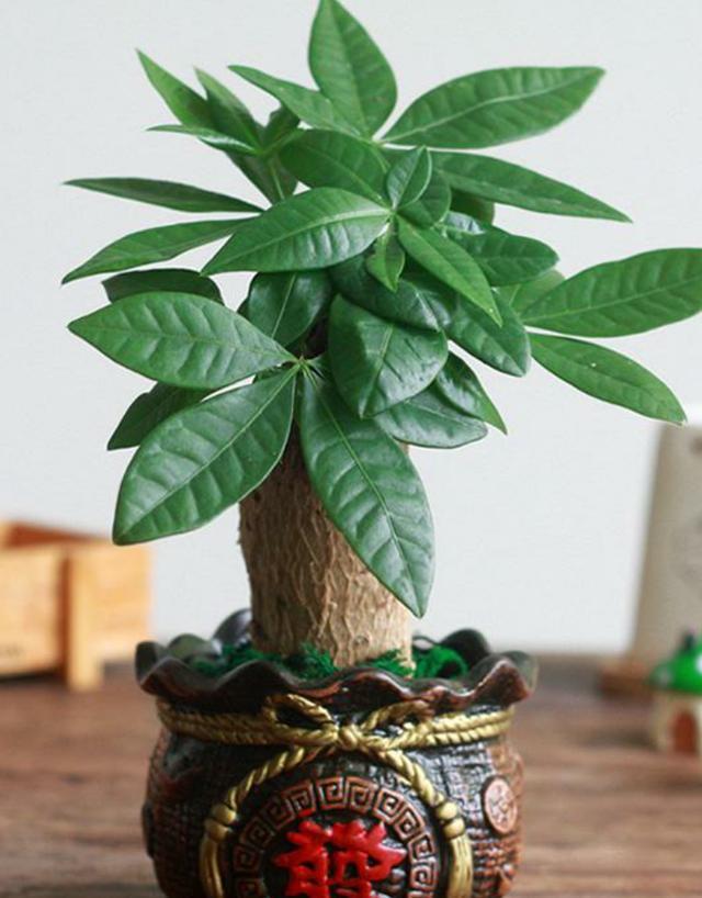 我的关键词 发财树冬天怎么养?出现黄叶可以换盆吗?不同情况,解决方法不同  热点新闻