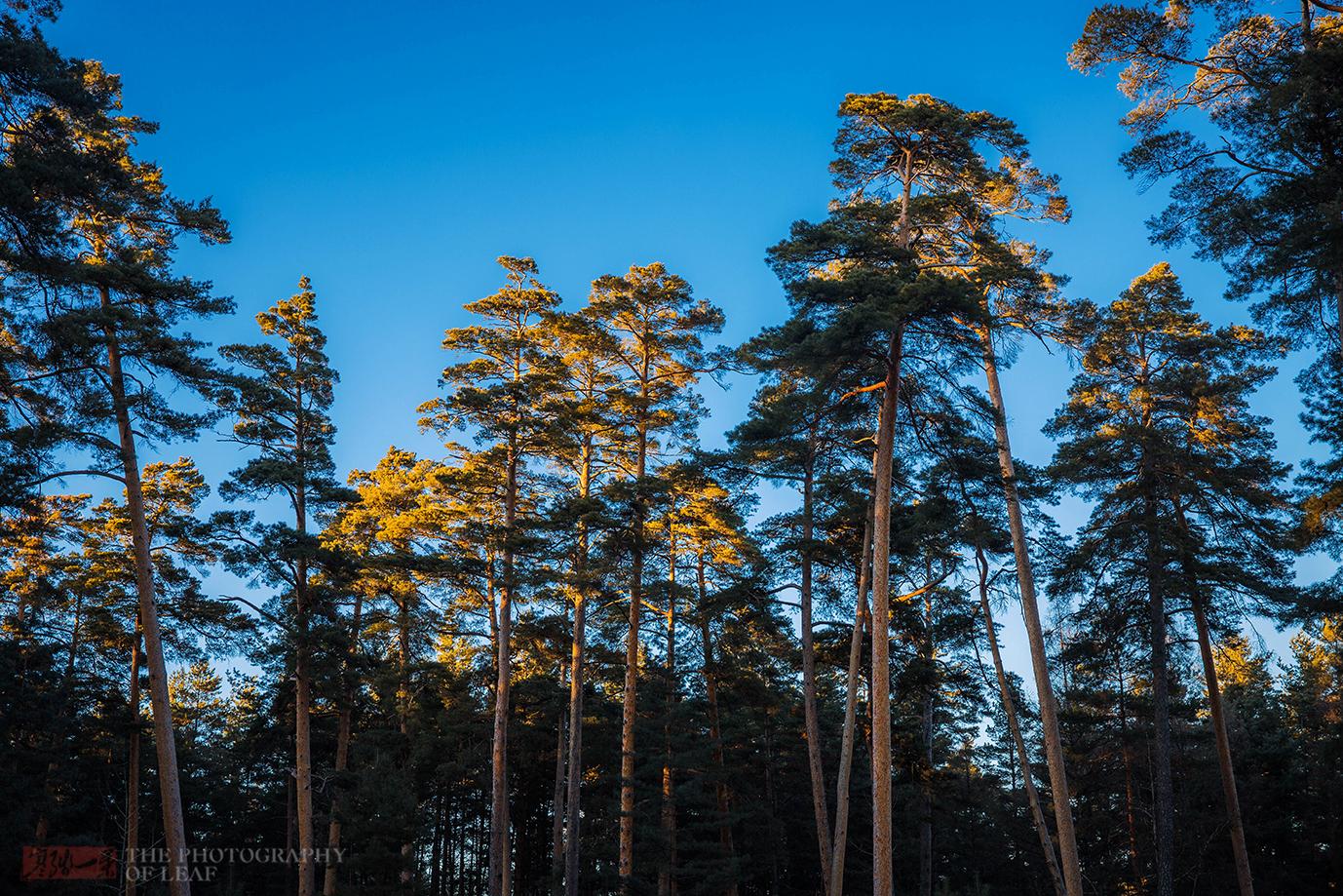 我的关键词 全天下惟独中国才有的树种,分开了长白山就不能存活,就这么奇异  消息资讯