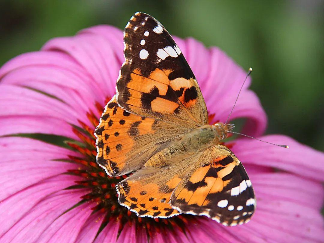 如何给蝴蝶翅膀